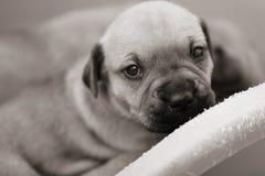 Perrito minúsculo que mira para arriba Imágenes de archivo libres de regalías