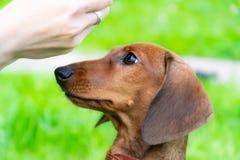 Perrito miniatura del perro basset con su dueño Un perro enérgico joven está corriendo alrededor para un paseo imagenes de archivo