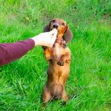 Perrito miniatura del perro basset con su dueño Un perro enérgico joven está corriendo alrededor para un paseo fotos de archivo libres de regalías