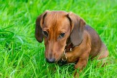 Perrito miniatura del perro basset con su dueño Un perro enérgico joven está corriendo alrededor para un paseo foto de archivo