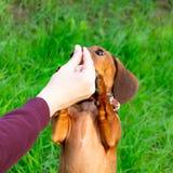 Perrito miniatura del perro basset con su dueño Un perro enérgico joven está corriendo alrededor para un paseo fotografía de archivo