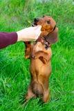 Perrito miniatura del perro basset con su dueño Un perro enérgico joven está corriendo alrededor para un paseo fotos de archivo