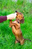 Perrito miniatura del perro basset con su dueño Un perro enérgico joven está corriendo alrededor para un paseo fotografía de archivo libre de regalías
