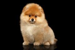 Perrito miniatura del perro de Pomerania de Pomeranian en fondo negro Fotografía de archivo
