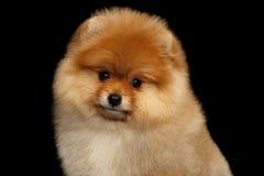 Perrito miniatura del perro de Pomerania de Pomeranian en fondo negro Fotos de archivo