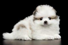 Perrito miniatura del perro de Pomerania de Pomeranian en fondo negro Imágenes de archivo libres de regalías