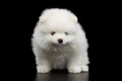 Perrito miniatura del perro de Pomerania de Pomeranian en fondo negro Fotografía de archivo libre de regalías