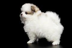 Perrito miniatura del perro de Pomerania de Pomeranian en fondo negro Fotos de archivo libres de regalías