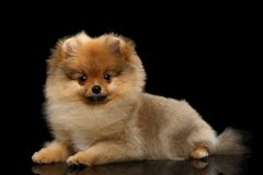 Perrito miniatura del perro de Pomerania de Pomeranian en fondo negro Foto de archivo