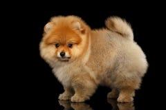 Perrito miniatura del perro de Pomerania de Pomeranian en fondo negro Imagen de archivo