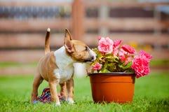 Perrito miniatura rojo de bull terrier foto de archivo