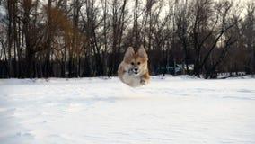 Perrito mullido del pequeño corgi divertido que camina al aire libre en el día de invierno metrajes