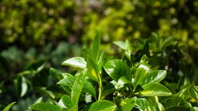 Perrito muy pequeño, dulce - el schnauzer miniatura que se sienta en un jardín en verde grassGreen el arbusto del jardín con las  Foto de archivo