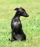 Perrito negro Foto de archivo libre de regalías