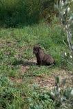 Perrito negro Fotos de archivo
