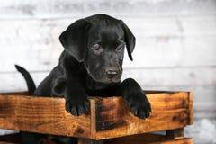 Perrito negro adorable del laboratorio imagen de archivo