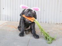 Perrito negro con los oídos del conejito fotos de archivo libres de regalías