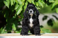 Perrito negro de cocker spaniel del americano Imagenes de archivo