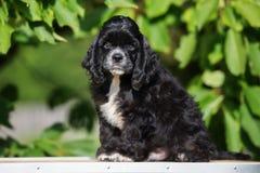 Perrito negro de cocker spaniel del americano Imagen de archivo