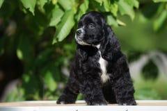 Perrito negro de cocker spaniel del americano Fotos de archivo