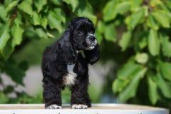 Perrito negro de cocker spaniel del americano Fotos de archivo libres de regalías