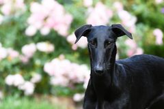 Perrito negro de Galgo Espanol Imágenes de archivo libres de regalías