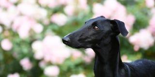 Perrito negro de Galgo Espanol Imagen de archivo libre de regalías