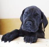 Perrito negro de great dane Fotografía de archivo libre de regalías