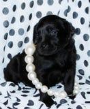 Perrito negro de Labrador fotos de archivo