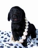 Perrito negro de Labrador imagenes de archivo