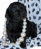 Perrito negro de Labrador foto de archivo libre de regalías