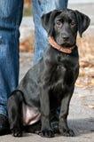 Perrito negro de Labrador Imágenes de archivo libres de regalías