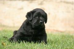 Perrito negro de Labrador en la hierba Fotos de archivo libres de regalías