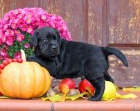 Perrito negro de Labrador en otoño Imagen de archivo