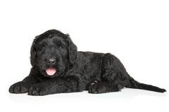 Perrito negro de Terrier del ruso Fotos de archivo