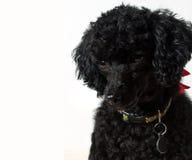 Perrito negro del caniche imagen de archivo libre de regalías