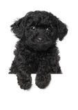 Perrito negro del caniche foto de archivo