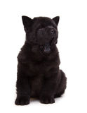 Perrito negro del chow-chow Fotos de archivo libres de regalías
