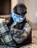 Perrito negro del laboratorio foto de archivo libre de regalías