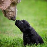 Perrito negro del laboratorio imagen de archivo