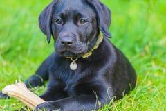 Perrito negro del labrador retriever con el hueso Foto de archivo