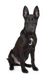 Perrito negro del pastor alemán Imagen de archivo libre de regalías