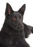 Perrito negro del pastor alemán foto de archivo