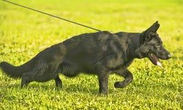 Perrito negro del pastor en el correo Imagen de archivo
