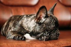 Perrito negro del perro del dogo francés con el punto blanco que duerme en el sofá rojo Fotografía de archivo libre de regalías