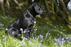 Perrito negro del perro perdiguero de Labrador en bluebells Fotografía de archivo libre de regalías