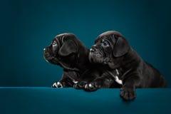 Perrito negro dos del bastón Corso de la raza Imagen de archivo libre de regalías