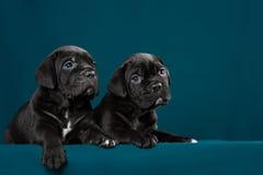 Perrito negro dos del bastón Corso de la raza Fotos de archivo libres de regalías