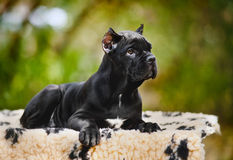 Perrito negro joven de Corso del bastón que miente en una manta fotografía de archivo libre de regalías