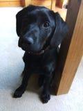 Perrito negro joven de Labrador Imagen de archivo libre de regalías